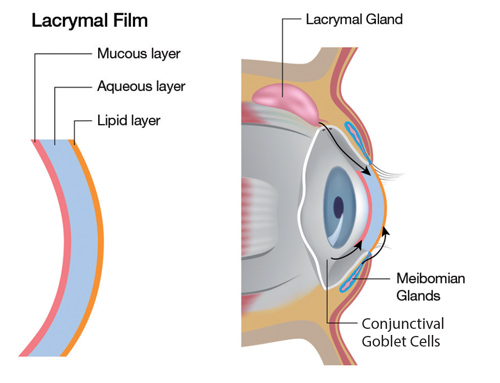 Diagram showing lacrymal film and gland